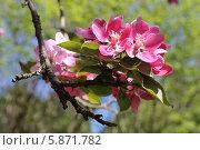 Розовые соцветия на ветке старой яблони Недзведцкого. Стоковое фото, фотограф Наташа Антонова / Фотобанк Лори