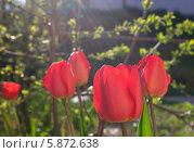 Тюльпаны в лучах солнца. Стоковое фото, фотограф Зацепина Галина / Фотобанк Лори