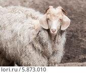 Домашняя коза с густой шерстью. Стоковое фото, фотограф Вячеслав Зеленин / Фотобанк Лори