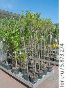 Купить «Торговля саженцами плодовых деревьев», эксклюзивное фото № 5873274, снято 2 мая 2014 г. (c) Svet / Фотобанк Лори