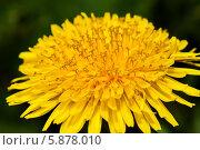 Купить «Цветущий жёлтый одуванчик крупным планом весной», эксклюзивное фото № 5878010, снято 2 мая 2014 г. (c) Игорь Низов / Фотобанк Лори