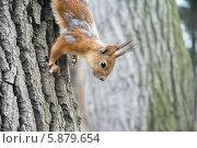 Рыжая белка на дереве в парке. Стоковое фото, фотограф Ксения Егорова / Фотобанк Лори
