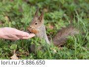Белка ест семечки с руки. Стоковое фото, фотограф Argument / Фотобанк Лори
