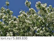 Красивые цветы яблони на фоне голубого неба весной. Стоковое фото, фотограф lana1501 / Фотобанк Лори