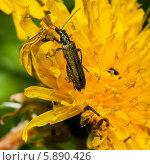 Купить «Маленький жук собирает нектар на жёлтом одуванчике крупным планом», эксклюзивное фото № 5890426, снято 9 мая 2014 г. (c) Игорь Низов / Фотобанк Лори