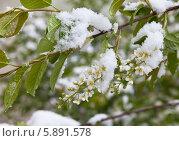Купить «Весна. Снег и похолодание на цветение черемухи (лат. Prunus padus)», фото № 5891578, снято 7 мая 2014 г. (c) Виктория Катьянова / Фотобанк Лори