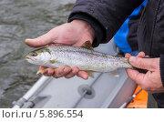 Рыба микижа в руках человека на рыбалке. Стоковое фото, фотограф Воевудский Евгений / Фотобанк Лори