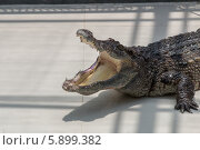 Крокодил с открытой пастью. Стоковое фото, фотограф Дмитрий Емушинцев / Фотобанк Лори