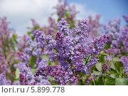 Купить «Сирень», фото № 5899778, снято 13 мая 2014 г. (c) Павел Москаленко / Фотобанк Лори