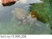 Купить «Две морские черепахи плавают в открытом аквариуме (бассейне)», эксклюзивное фото № 5900206, снято 24 апреля 2014 г. (c) Щеголева Ольга / Фотобанк Лори