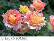 Купить «Роза флорибунда Роз де Цистерсьен (Rose des Cisterciens) Delbard», фото № 5900686, снято 30 июня 2013 г. (c) Ольга Сейфутдинова / Фотобанк Лори