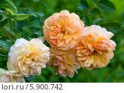 Купить «Английская кустовая роза Пегасус (Pegasus) David Austin», фото № 5900742, снято 30 июня 2013 г. (c) Ольга Сейфутдинова / Фотобанк Лори