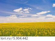Цветущее поле, Беларусь (2014 год). Стоковое фото, фотограф Литвяк Игорь / Фотобанк Лори