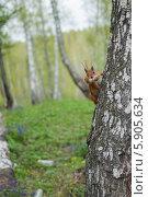 Белка. Стоковое фото, фотограф Amir Navrutdinov / Фотобанк Лори