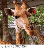 Жираф. Стоковое фото, фотограф Юлия Дроздова / Фотобанк Лори