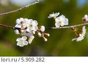 Купить «Вишневые цветы», фото № 5909282, снято 9 мая 2014 г. (c) Юлия Бурдакова / Фотобанк Лори
