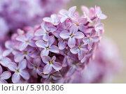 Купить «Сирень», фото № 5910806, снято 16 мая 2014 г. (c) Ольга Сейфутдинова / Фотобанк Лори
