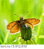 Бабочка сидит на не распущенном цветке одуванчика. Стоковое фото, фотограф Игорь Низов / Фотобанк Лори