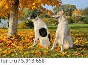 Купить «Две русские борзые на фоне осеннего пейзажа», фото № 5913658, снято 12 октября 2013 г. (c) Наталия Евмененко / Фотобанк Лори