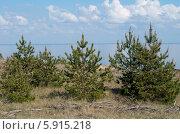 Купить «Куршская коса. Посадки молодых сосен», эксклюзивное фото № 5915218, снято 18 мая 2014 г. (c) Svet / Фотобанк Лори