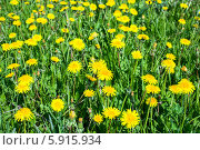 Желтые цветы с зелеными листьями и стеблями крупным планом. Стоковое фото, фотограф Кекяляйнен Андрей / Фотобанк Лори