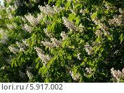Купить «Цветы каштана», фото № 5917002, снято 18 мая 2014 г. (c) Смирнова Лидия / Фотобанк Лори