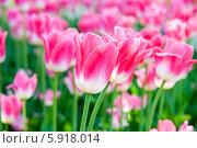 Купить «Розовые тюльпаны крупным планом в весенний солнечный день», фото № 5918014, снято 18 мая 2014 г. (c) Екатерина Овсянникова / Фотобанк Лори