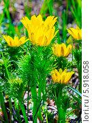 Адонис (Adonis) — род растений семейства Лютиковые (Ranunculaceae). Цветущий куст в контровом освещении. Стоковое фото, фотограф Евгений Мухортов / Фотобанк Лори