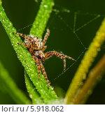 Купить «Лесной паук сидит в паутине на траве покрытой росой», эксклюзивное фото № 5918062, снято 14 мая 2014 г. (c) Игорь Низов / Фотобанк Лори