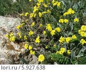 Горные цветы. Стоковое фото, фотограф Ирина Жосан / Фотобанк Лори