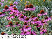 Купить «Эхинацея пурпурная», фото № 5928230, снято 19 августа 2012 г. (c) Ольга Сейфутдинова / Фотобанк Лори