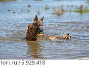Купить «Мокрая Овчарка и пекинес играют с мячом в воде», фото № 5929418, снято 21 мая 2014 г. (c) Андрей Воробьев / Фотобанк Лори