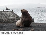 Купить «Сивуч, или морской лев Стеллера. Камчатка», фото № 5929658, снято 10 декабря 2010 г. (c) А. А. Пирагис / Фотобанк Лори
