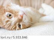 Купить «Бело-рыжий кот», фото № 5933846, снято 18 мая 2014 г. (c) Екатерина Ярославовна Мостовая / Фотобанк Лори