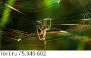 Купить «Лесной паук плетёт паутину освещенный лучами заходящего солнца», эксклюзивное фото № 5940602, снято 20 мая 2014 г. (c) Игорь Низов / Фотобанк Лори