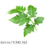 Купить «Росток с зелеными листьями томата на белом фоне», фото № 5942162, снято 12 мая 2013 г. (c) Boroda / Фотобанк Лори