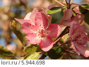 Купить «Яблоня в цвету», фото № 5944698, снято 24 мая 2014 г. (c) Федюнин Александр / Фотобанк Лори