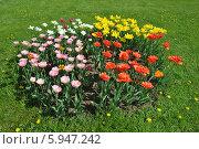 Купить «Круглая клумба красивых тюльпанов», эксклюзивное фото № 5947242, снято 18 мая 2014 г. (c) lana1501 / Фотобанк Лори