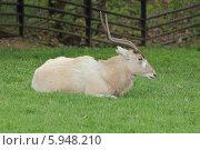 Купить «Аддакс (антилопа мендес) в пражском зоопарке», фото № 5948210, снято 12 апреля 2014 г. (c) Хименков Николай / Фотобанк Лори