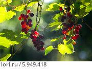 Купить «Созревающая гроздь винограда Изабелла (Vitis labrusca L.)», фото № 5949418, снято 5 августа 2013 г. (c) Анна Кудрявцева / Фотобанк Лори