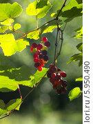 Купить «Созревающая гроздь винограда Изабелла (Vitis labrusca L.)», фото № 5950490, снято 5 августа 2013 г. (c) Анна Кудрявцева / Фотобанк Лори