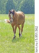 Лошадь гуляет на лугу. Стоковое фото, фотограф Елена / Фотобанк Лори