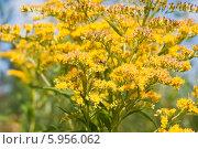 Купить «Цветы Золотарника (Goldenrod)», эксклюзивное фото № 5956062, снято 16 августа 2011 г. (c) Алёшина Оксана / Фотобанк Лори