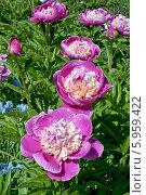 Купить «Цветущий куст пиона розового», эксклюзивное фото № 5959422, снято 31 мая 2014 г. (c) Svet / Фотобанк Лори