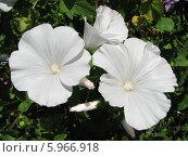 Купить «Лаватера трехмесячная, белая - Lavatera trimestris», фото № 5966918, снято 18 августа 2011 г. (c) Беляева Наталья / Фотобанк Лори