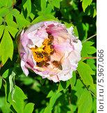 Розовый пион с пчелами. Стоковое фото, фотограф ВЛАДИМИР КУШПИЛЬ / Фотобанк Лори