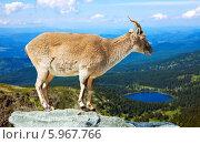Купить «Гривистый баран на скале», фото № 5967766, снято 19 марта 2019 г. (c) Яков Филимонов / Фотобанк Лори