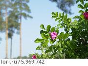 Цветущий шиповник на фоне голубого неба и сосновых деревьев летним солнечным утром. Стоковое фото, фотограф Вячеслав Сапрыкин / Фотобанк Лори