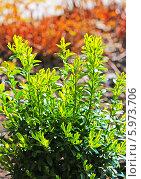 Купить «Самшит ( Buxus) — род растений семейства Самшитовые, медленнорастущий вечнозелёный кустарник», эксклюзивное фото № 5973706, снято 31 мая 2014 г. (c) Евгений Мухортов / Фотобанк Лори