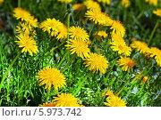 Купить «Одуванчик лекарственный, семейство астровые (Asteraceae)», эксклюзивное фото № 5973742, снято 4 июня 2014 г. (c) Евгений Мухортов / Фотобанк Лори